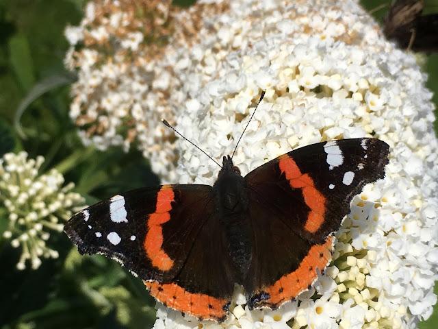 Lykken er å ha en sommerfuglbusk - nærbilde av sommerfuglen
