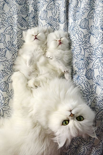 Persian Cat Mom And Kittens Fluffy And Beautiful Family