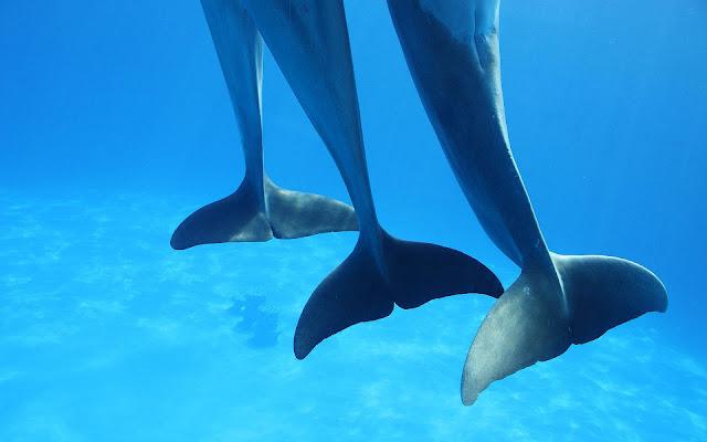 Dansende dolfijnen in helder blauw water