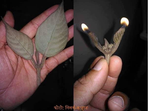 प्रियंगू या पांडव बत्ती (Large-Leaf Beauty Berry)