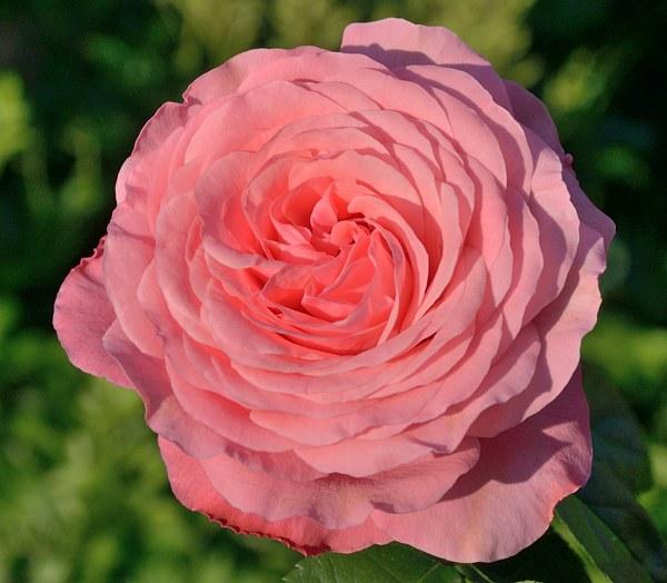 Rosanna роза фото