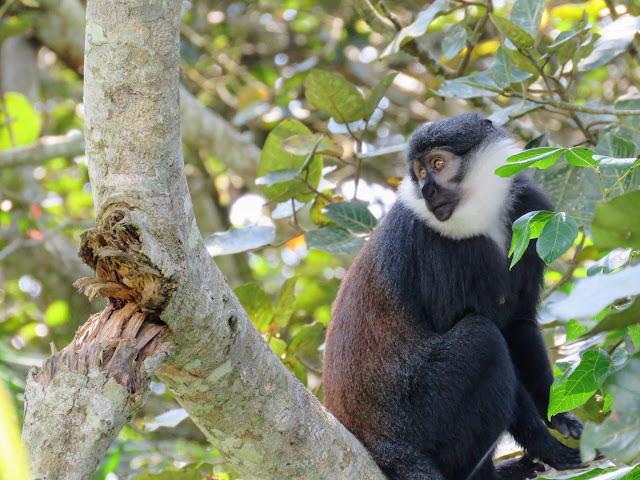 l'hoest monkey in Bigodi Wetlands in Western Uganda