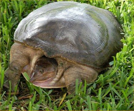 Zoo Animals Softshell Turtle