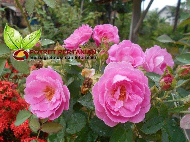 Belajar Pertanian Organik Tips Membuat Bunga Mawar Mini Rajin Berbunga