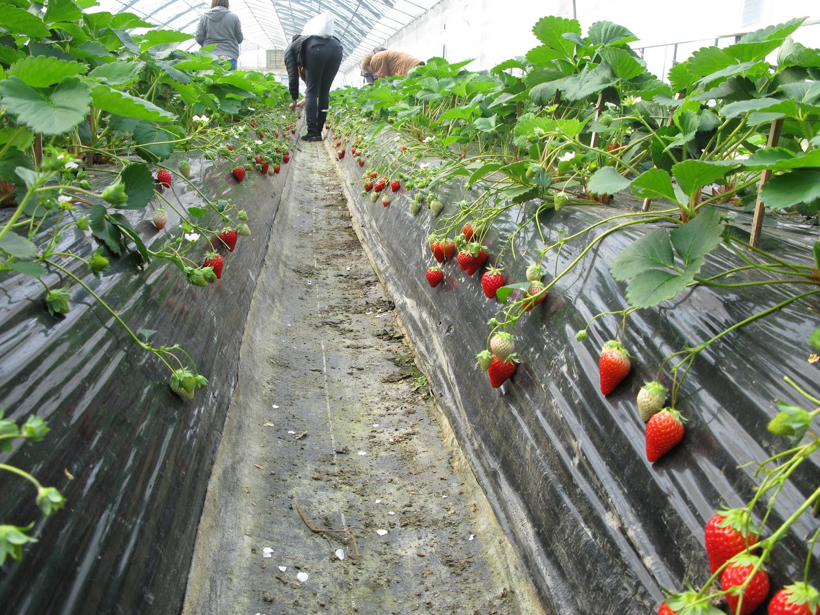 Teknik Tanam Stroberi Langsung di Tanah
