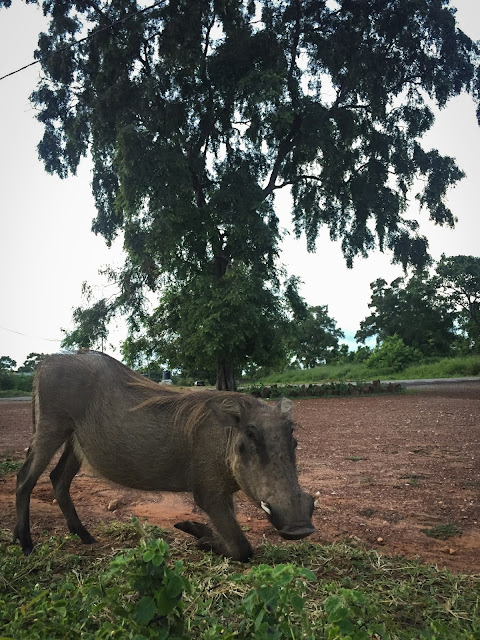 Warthog in front of our room, Mole National Park, Ghana