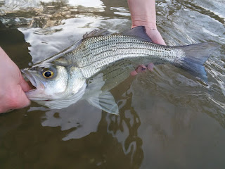 Kenley Crowe, White Bass, Fly Fishing for White Bass, White Bass in Texas, Texas Freshwater Fly Fishing, Fly Fishing in Texas, Texas Fly Fishing, TFFF, White Bass Fishing