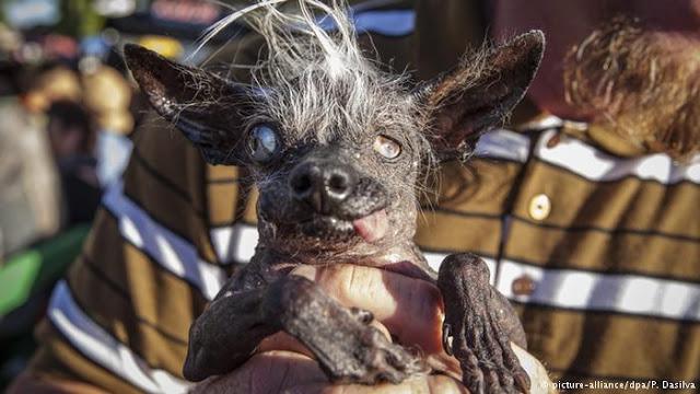 El lamentable concurso del perro más feo del mundo