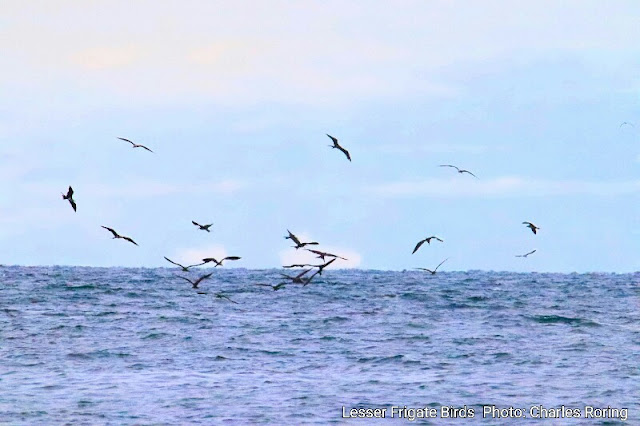 Lesser frigatebirds hovering the sea to catch fish