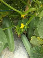manfaat timun, mentimun legenda f1, benih royal seed, pohon timun, jual benih timun, toko pertanian, toko online, lmga agro