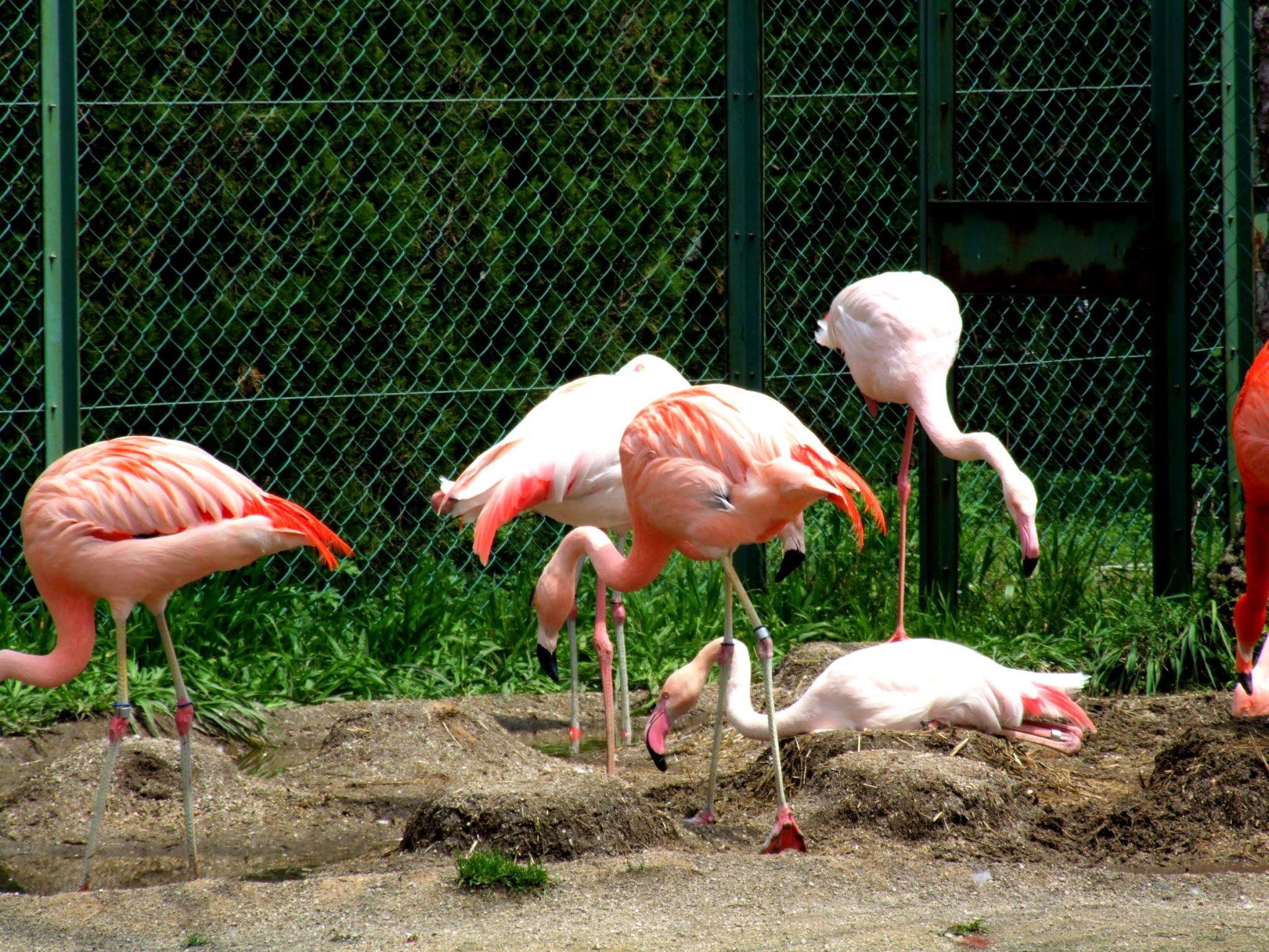 ピンク色が鮮やかなフラミンゴの写真素材です。白っぽい子、かなり赤い子など色あざやかで可愛いですね。