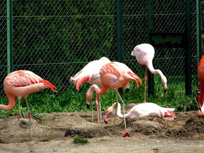 114 #フラミンゴ #鳥 #動物 #動物園 #風景