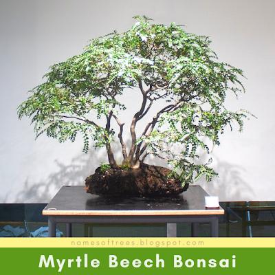 Myrtle Beech Bonsai