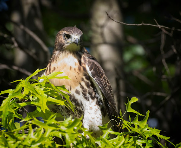 Tompkins Square red-tail fledgling 09
