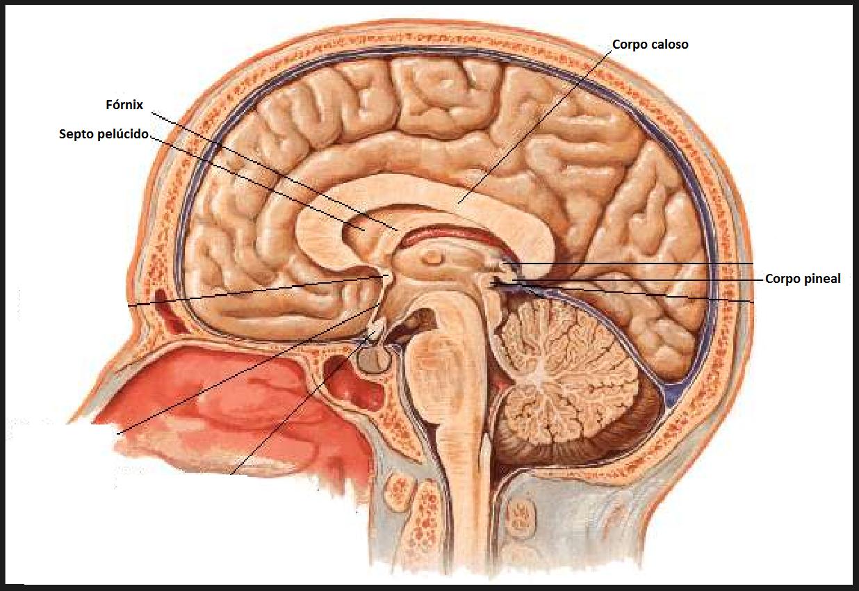 Anatomia humana corpo humano