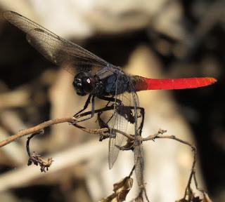 Erythemis peruviana, Flame-tailed Pondhawk