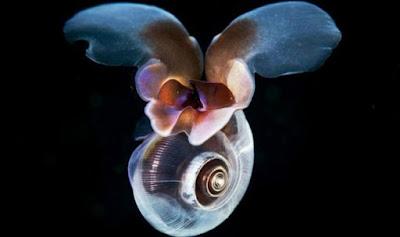 Cientistas desvendam 'voo' misterioso de caramujo marinho