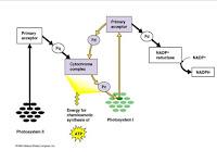 Reaksi Terang dan Reaksi Gelap Pada Fotosintesis-Pokok Bahasan Metabolisme