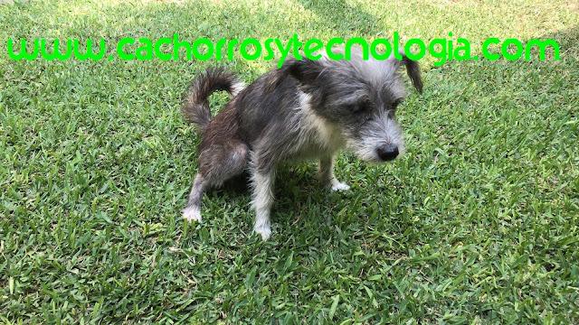 El síndrome de shaker en perros dog puppy can cachorros y tecnologia