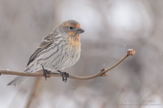 Male House Finch  Photo © Shelley Banks, all rights reserved.