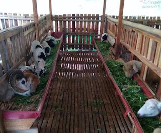 Kebutuhan Nutrisi Ternak Kambing Domba