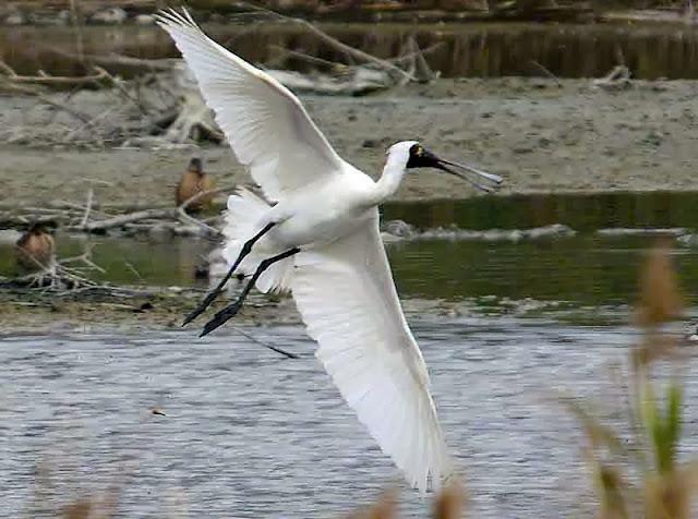 bird, Black-faced Spoonbill in flight