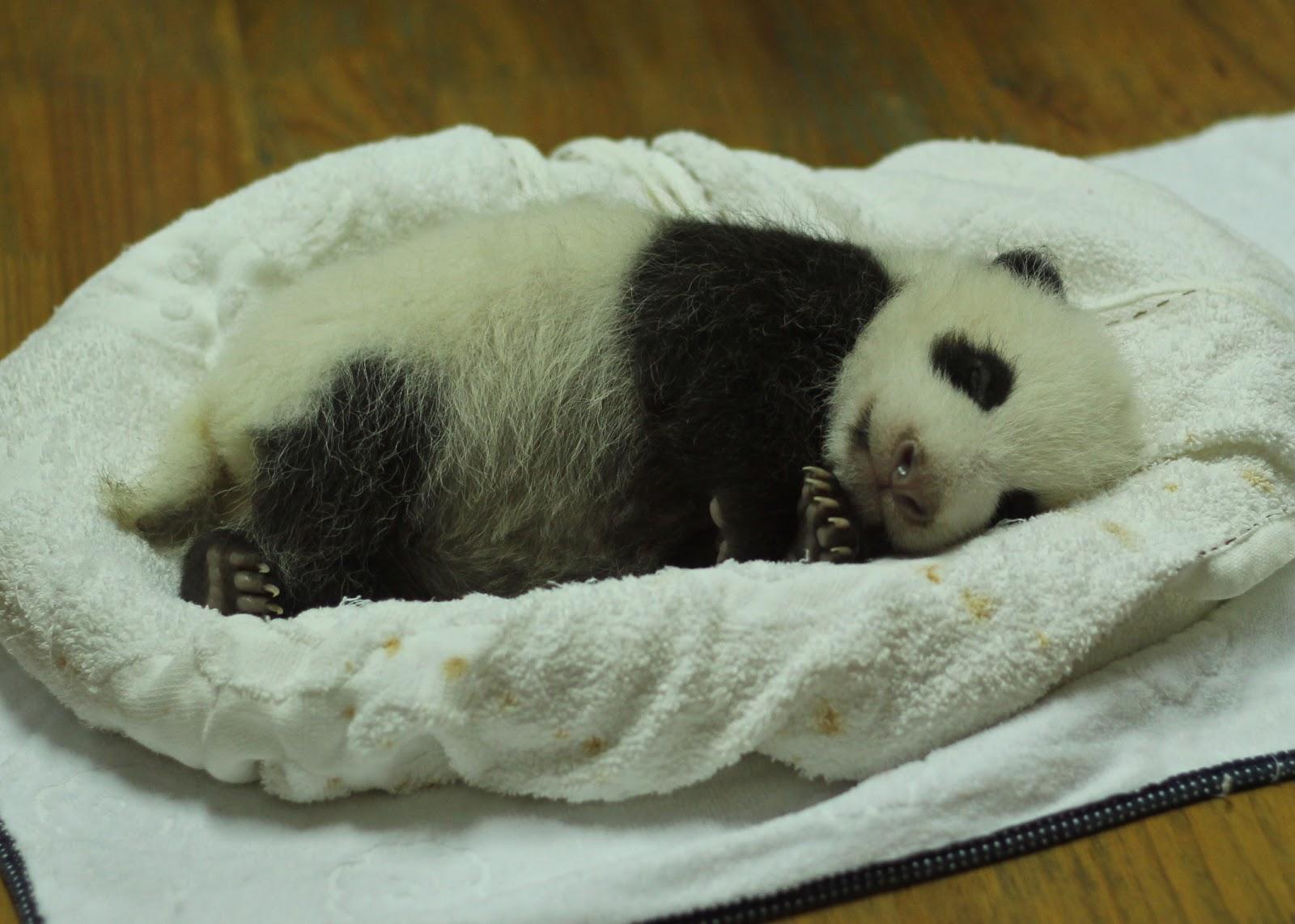 バスケットの中で寝ている生後一ヵ月の赤ちゃんパンダ