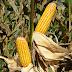 Variedade de milho é opção de baixo investimento com boa relação custo-benefício