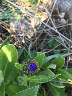 Ungeöffnete Blüte Blau Grün Blätter