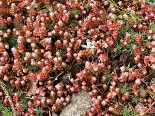 Orpin à feuilles courtes - Sedum brevifolium
