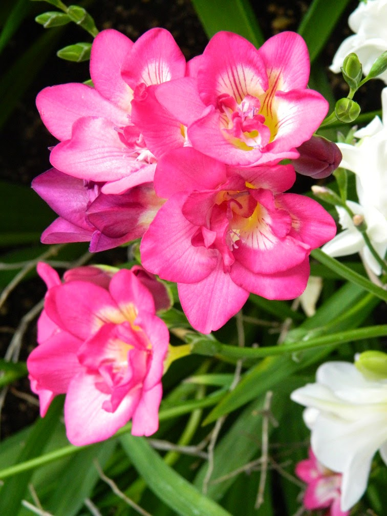 Pink freesia Centennial Park Conservatory 2015 Spring Flower Show by garden muses-not another Toronto gardening blog