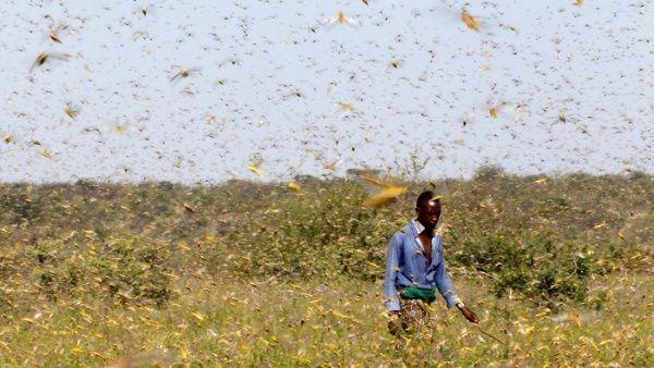 FAO alerta emergencia internacional por langostas del desierto