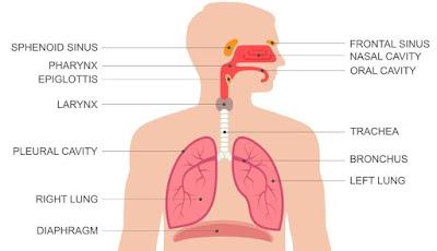 Organ Pernapasan Manusia dan Fungsinya