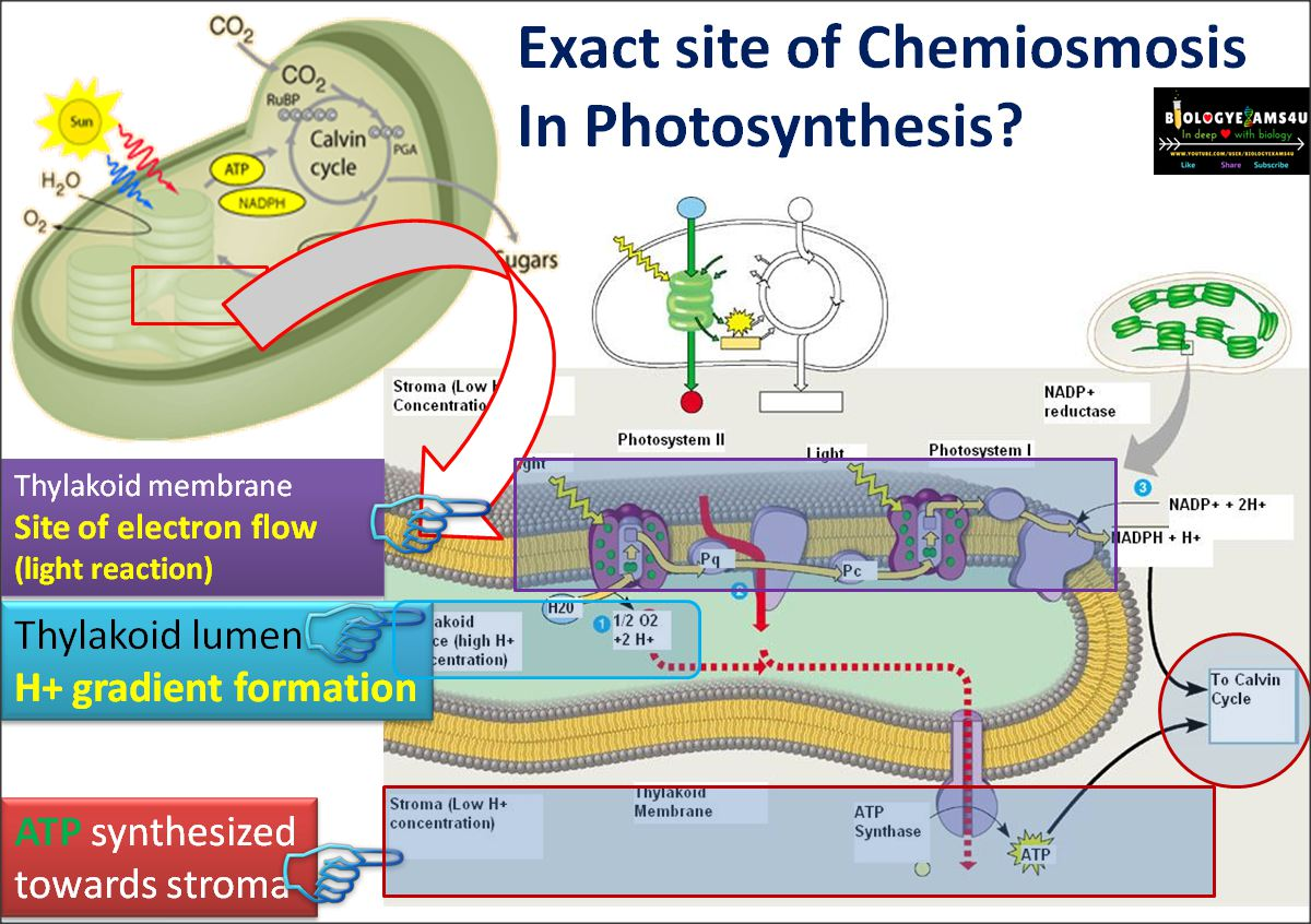 Chemiosmosis and ATP synthesis in Photosynthesis