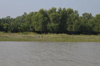Sonneratia Mangrove tree eaten by deer