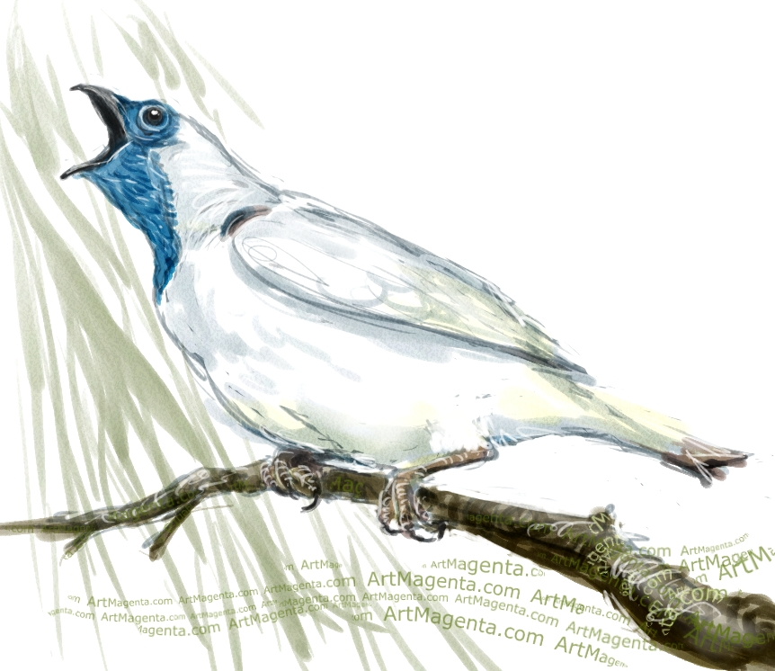 Bare-throated bellbird sketch painting. Bird art drawing by illustrator Artmagenta