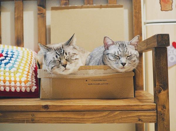 アマゾンの空箱に入って顔だけ出してる2匹の猫たち