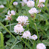 5 Reasons to Grow Clover In your Yard -- Instead of Grass