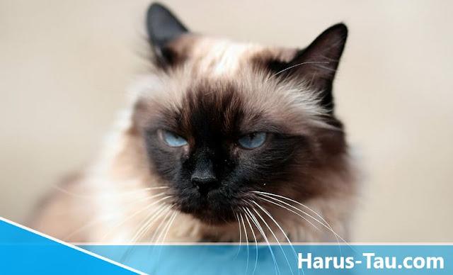Perbedaan Kucing Siam Dan Himalaya