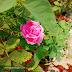 Bunga pink menghias laman