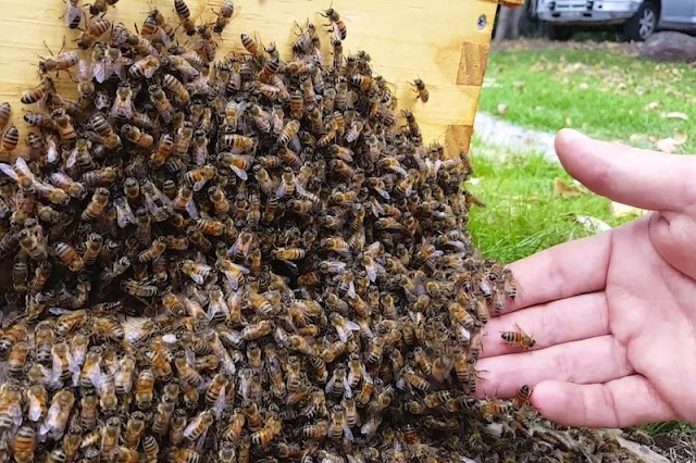 Πως τα μελισσια που σμηνουργούν δίνουν παραγωγή μελιού