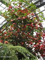 Bengal almond, a jungle plant - Kyoto Botanical Gardens Conservatory, Japan
