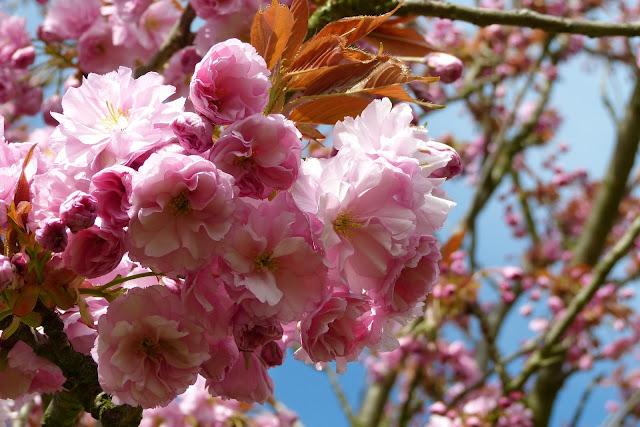 桜、テルトー、ベルリン、4月