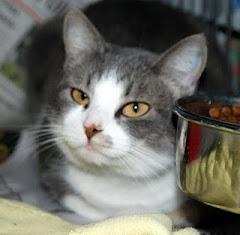 4/9/11 Don't Forget  Her. Beautiful Cat  Needs a Loving Home. KY. Transport  Help