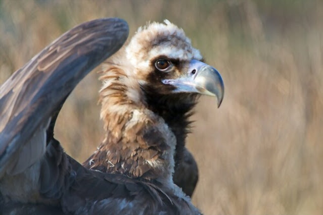 Cinereous vultures are the world's largest birds of prey (raptor)