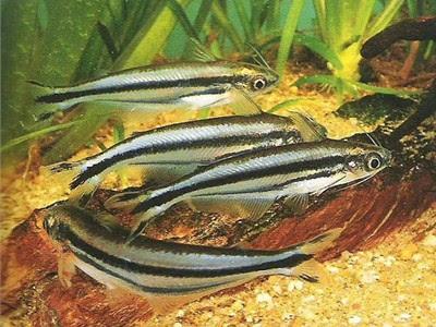 catfish glass African striped three
