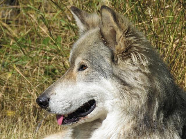 world's strongest dog breeds
