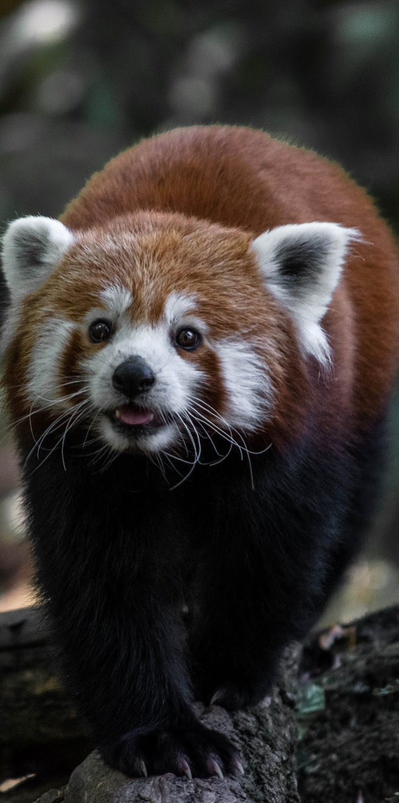Picture of a cute red panda.