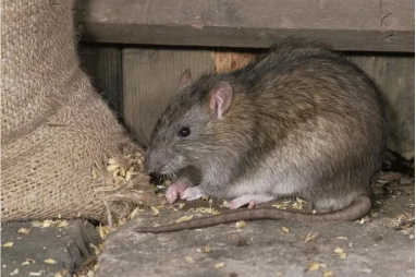 Tikus termasuk hewan pengerat yang suka merusak, memakan,mengotori rumah dan merupakan musuh para petani karena suka merusak tanaman.    Tidak hnaya itu tikus juga sering mengerat apa saja misalnya kabel, sabun, pakaian, dan lain sebagainya. Oleh karena itu, kehadirannya sangat tidak diharapkan. Tak heran banyak orang yang mencari berbagai cara untuk mengusir tikus demi menghindari hadirnya hewan pengerat tersebut.