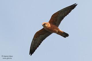 Kék vércse - Falco vespertinus
